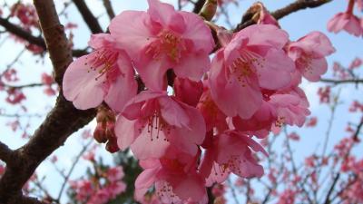 伊豆土肥桜は満開だった。