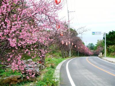 今帰仁城跡 2008冬 日本一早い桜まつり