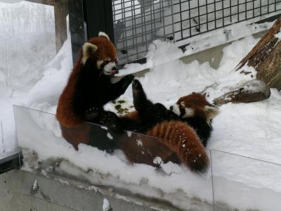 スキーあらため旭山動物園