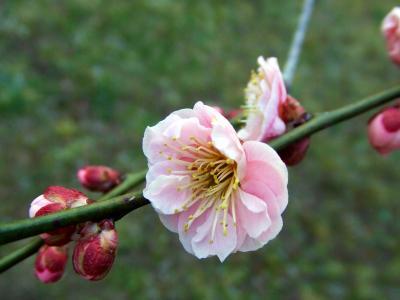 弘道館 2008春 梅の咲く夕暮れの庭園