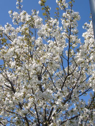 ☆2008年3月14日街角の花たち(ボルドー)