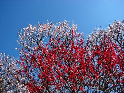 板橋十景 赤塚公園 満開の梅ー?