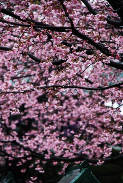 雨に濡れる密蔵院の安行桜