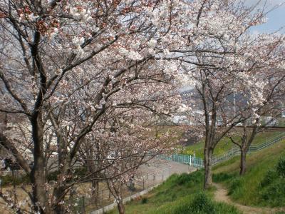 近所でお花見(桜)2008