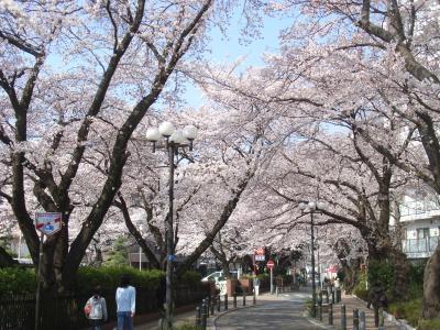 東林間 通勤途上の桜満開