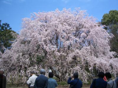桜~2008~in六義園