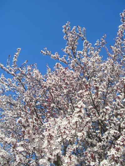 春の古都 京都(府立植物園)