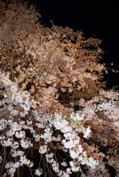 東京夜桜の旅、六義園のシダレザクラ