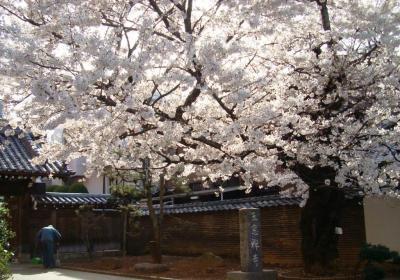青山霊園の桜はトンネルとなって