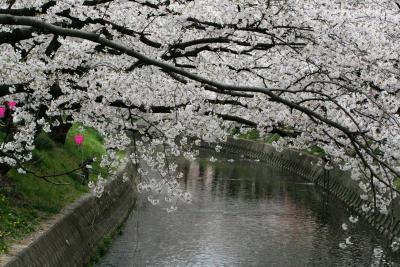 2008春、桜名所百選・五条川(1):4月3日(1):岩倉駅から歩いて五条川へ、染井吉野、雪洞、花筏