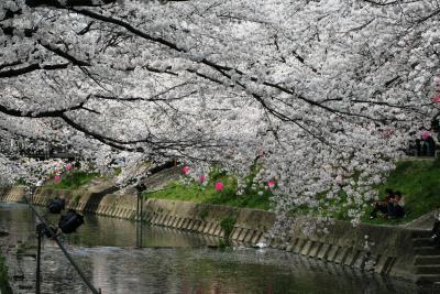 2008春、桜名所百選・五条川(2):4月3日(2):染井吉野、花筏、雪洞、ヒヨドリ