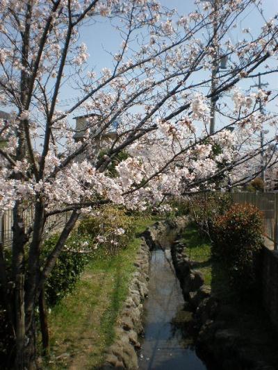 近所でお花見2008(桜)pert.2