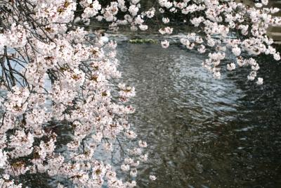 2008春、桜名所百選・五条川(3):4月3日(3):染井吉野、雪洞、ハナズオウ(花蘇芳)、花見の鳩さん