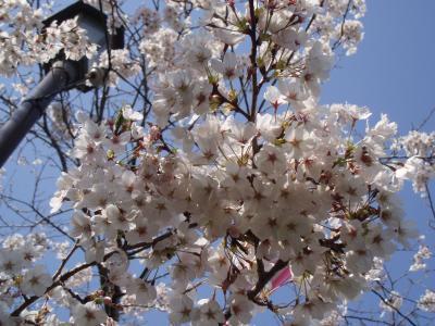小見川城山公園桜満開♪