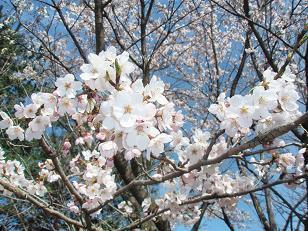 華蔵寺公園へお花見♪
