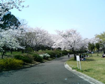 名古屋新発見 桜爛漫 平和公園