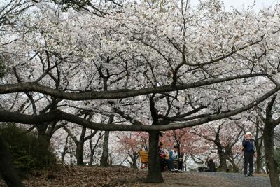 2008春、桜探訪・東山植物園(1):4月2日(1):染井吉野、菜の花、モチツツジ、紫木蓮、沈丁花、東山タワー