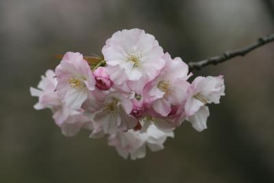 2008春、桜探訪・東山植物園(2):4月2日(2):松前早咲、八重紅大島、寒緋桜、雨情枝垂、太白、子福桜