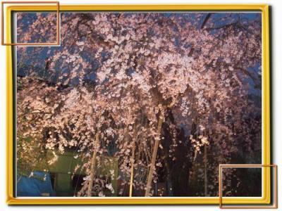 しだれ桜  in   熊本