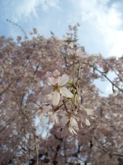 府中市民桜まつり散策