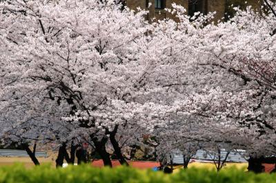 2008春、桜名所百選・鶴舞公園(2):4月2日(2):染井吉野、チューリップ、名古屋市公会堂、奏楽堂