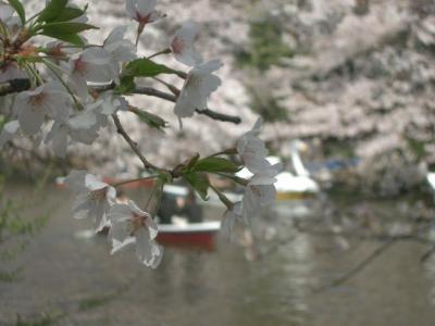 井の頭公園で家庭的なお花見を楽しみました