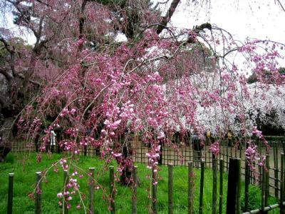 今年も桜咲く京都にやってきました(京都御所、仁和寺)