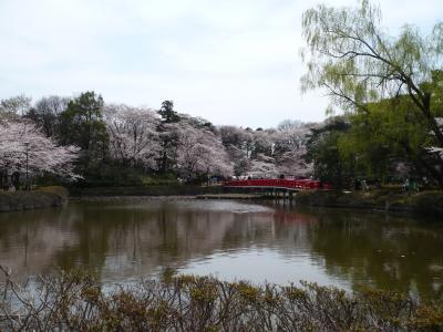 満開の桜とお雛様