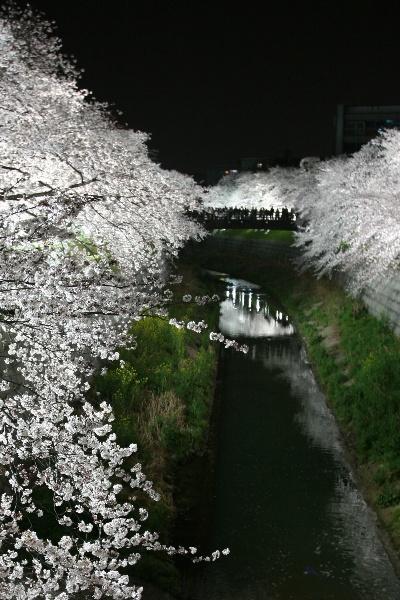 名古屋◆街ある記 山崎川の夜ざくら