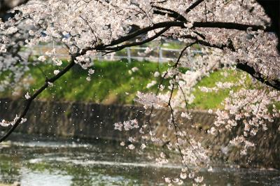 今年の桜も見納め。。五条川の桜吹雪 /愛知県 丹波郡 大口町