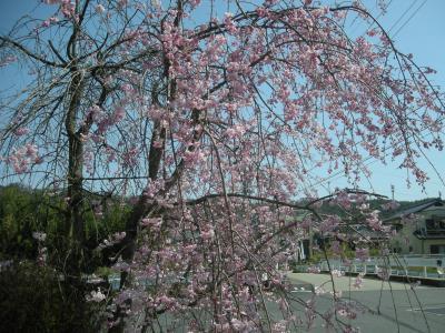 陶彩の道の桜