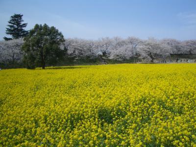 桜と菜の花の共演!in権現堂堤