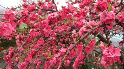 釈迦堂遺跡博物館前の花桃