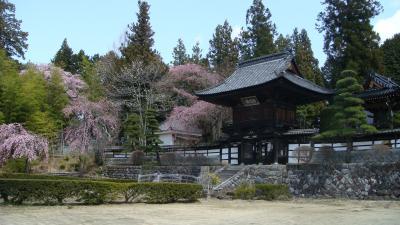 蔵沢寺の枝垂桜・・・駒ヶ根市中沢