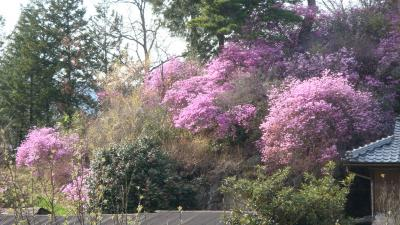 三つ葉ツツジの咲く丘・・・飯田市下久堅
