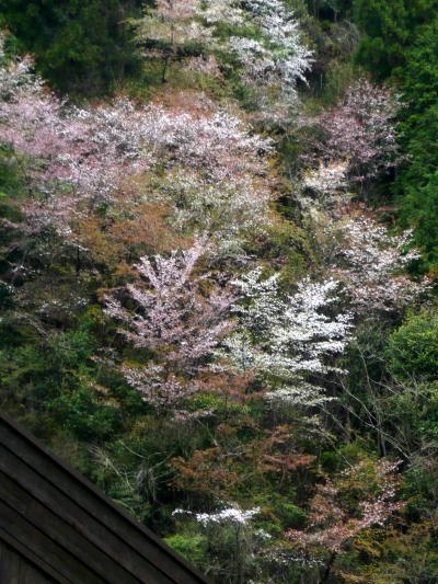 2008 桜・桜・桜・奈良(十津川村風屋ダム・八瀬の吊り橋・吉野路大搭)編