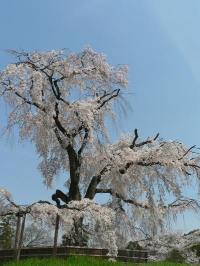 日本の旅 関西を歩く 京都・祇園周辺の桜