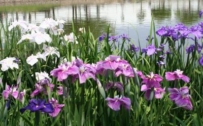 花菖蒲の堺市白鷺公園