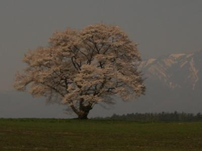 ☆一本桜/満開☆