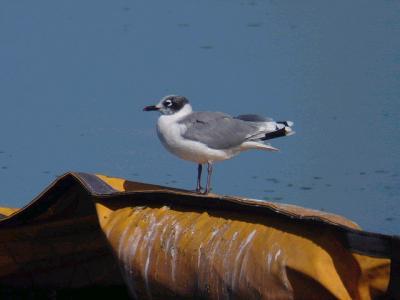 八郎潟周辺でバードウォッチング [2005](1) 珍鳥アメリカズグロカモメ編
