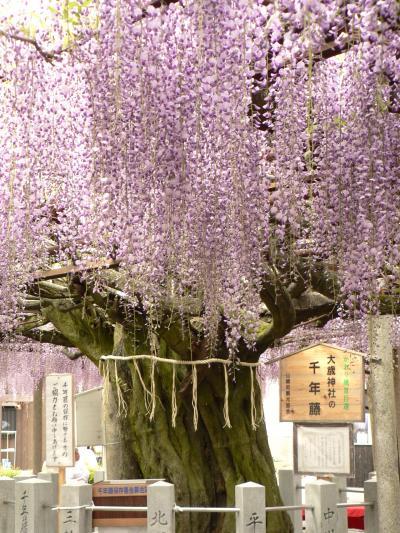 西播磨花めぐり? 大歳神社の千年藤