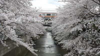 東京 東中野・北新宿周辺 神田川沿いの桜並木(2008年3月)
