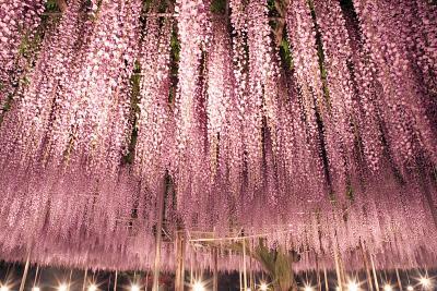 ふじのはな物語に感動。あしかがフラワーパーク /栃木県足利市迫間町