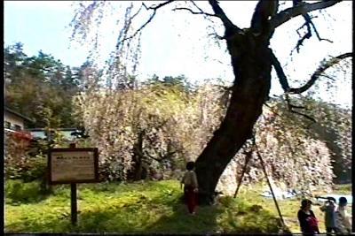 神原の枝垂れ桜!