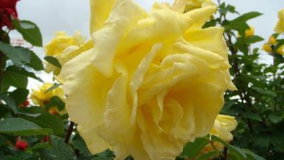 小田原フラワーガーデンで見かけたバラ