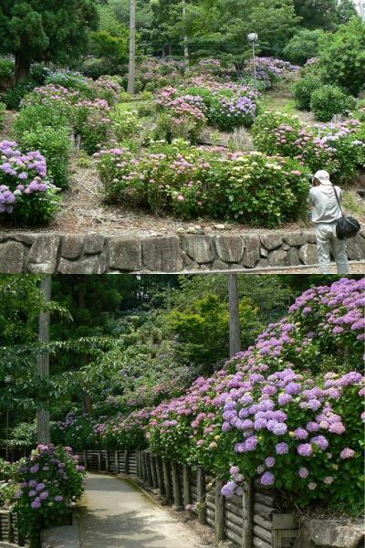 身近なところにすごい紫陽花があったんだ! 牧之原市(榛原)の秋葉公園で紫陽花祭り