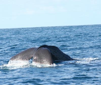 クジラのマヌ君に会いにカイコウラヘ