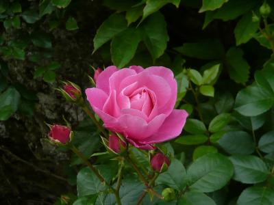 フランスのバラ~マリー・アントワネットの光と影~