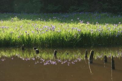 滋賀県高島市 平池の杜若を撮る
