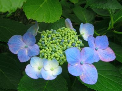 京都のお散歩~藤森神社 紫陽花のお花見